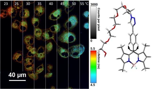 Nano-thermometer takes temperature inside cells