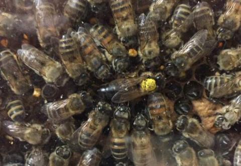 Averiguan en el lenguaje de unas abejas la distancia de sus viajes