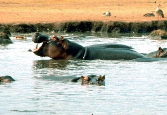 Los hipopótamos no evolucionaron: el megacuento de la megafauna... Img_10843