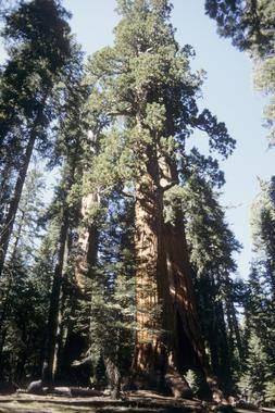 img 17777 Los árboles viejos y grandes crecen más rápido y almacenan más carbono — Noticias de la Ciencia y la Tecnología (Amazings® / NCYT®)