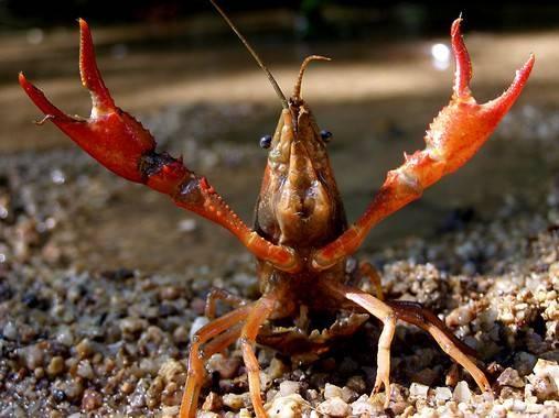 Las especies invasoras causan el declive de las comunidades acuáticas Img_29542