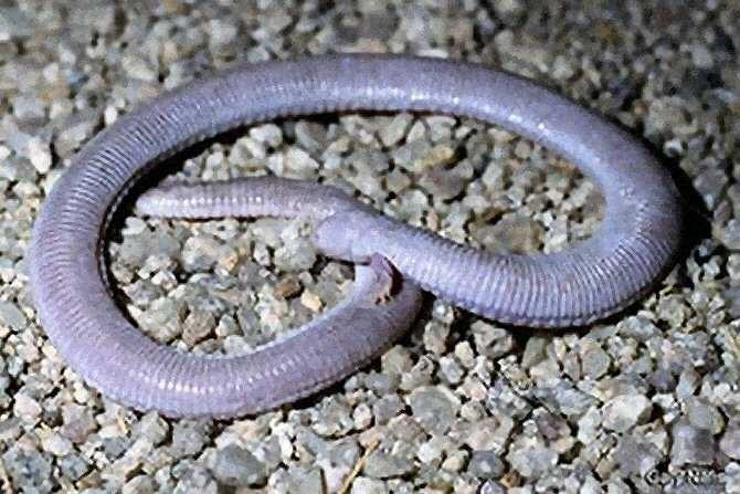Inesperado parentesco evolutivo de las serpientes   Noticias de la ...