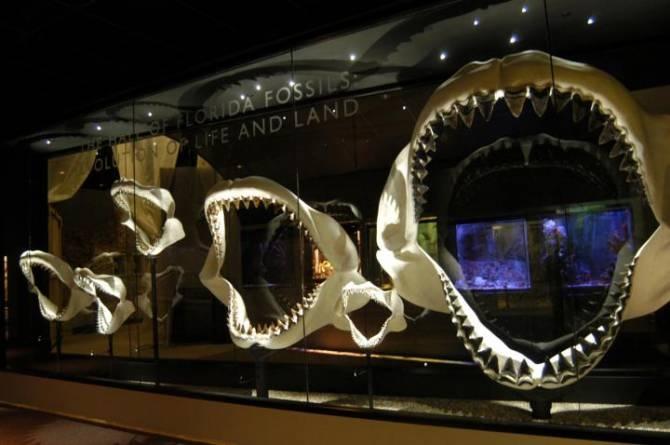 La mandíbula de un megalodón podía alcanzar hasta 3 metros. (Foto: ©Jeff Gage / Florida Museum of Natural History)