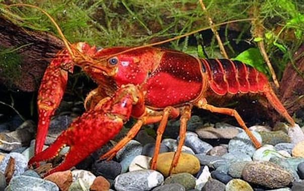 Resultado de imagen de cangrejo americano   rojo