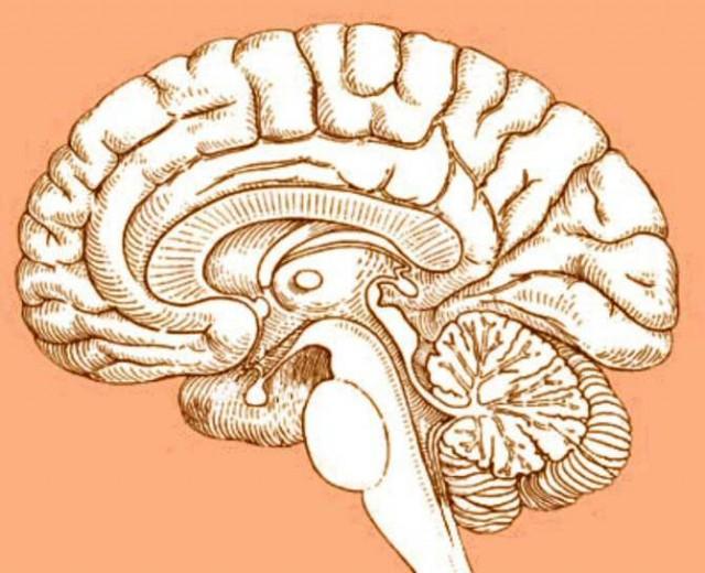 La causa de que el cerebro humano crezca más deprisa que el cuerpo ...
