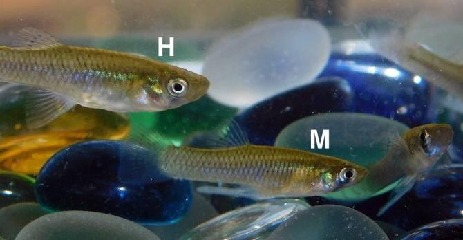 La gambusia (Gambusia holbrooki) es un pez de origen americano introducido en Extremadura hace casi un siglo y se esta expandiendo en el Lago de Sanabria