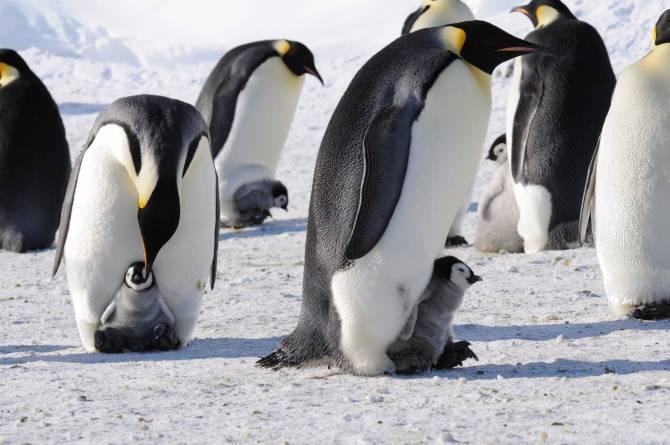 Los pingüinos emperador son más numerosos de lo que se creía ...